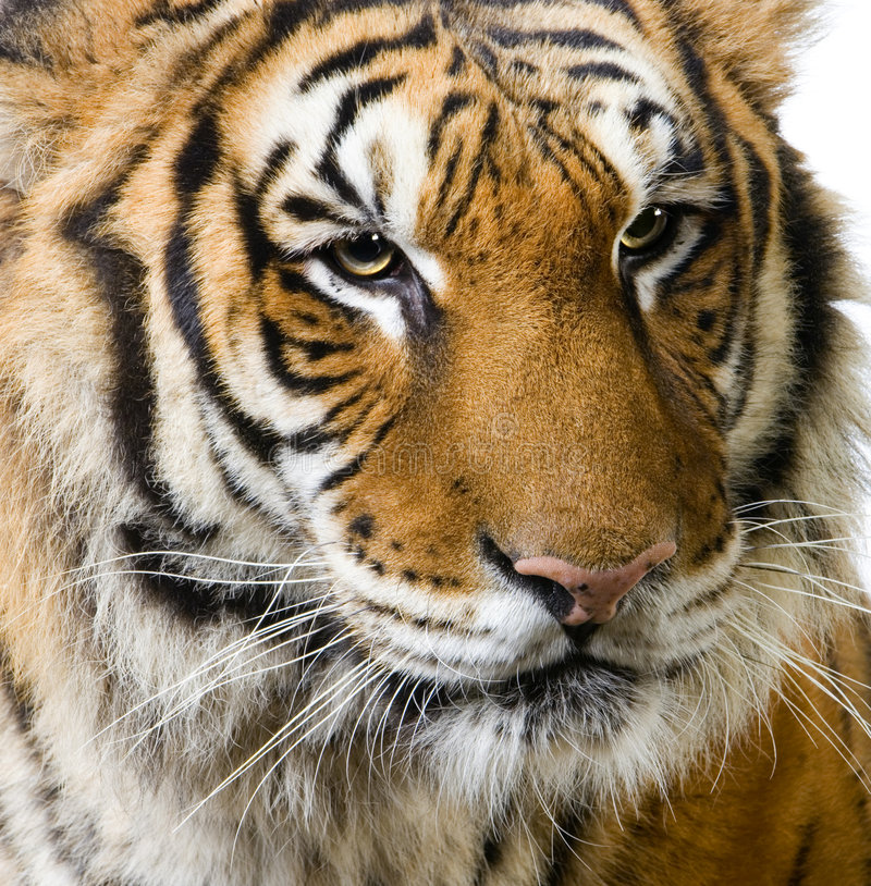 Download Tiger's face stock photo. Image of cats, face, shot, stalk - 2321218