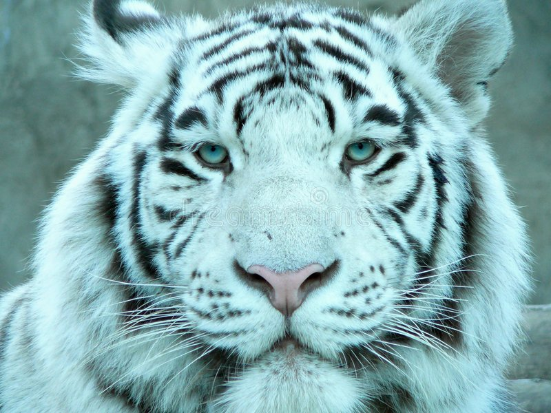 Tiger's sight royalty free stock images
