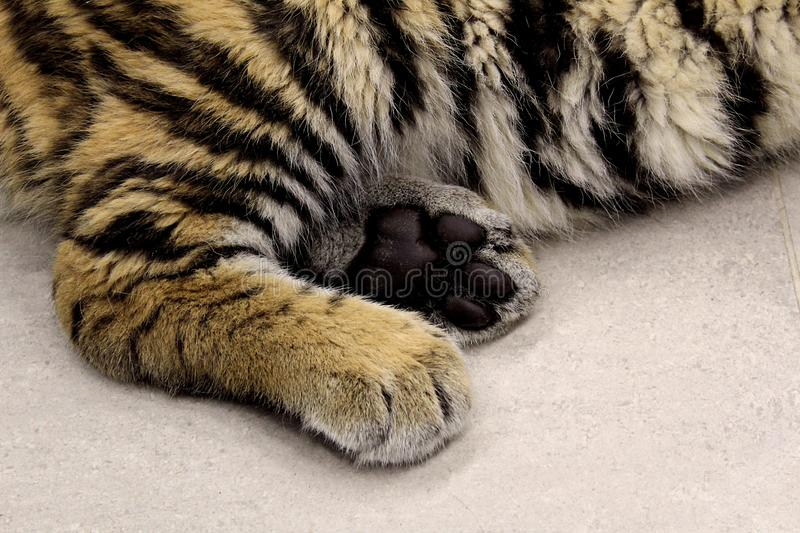Tiger`s strong paws lie on the floor royalty free stock image