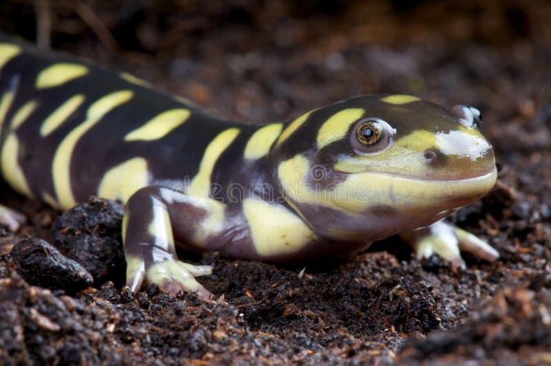 Tiger Salamander lizenzfreies stockbild