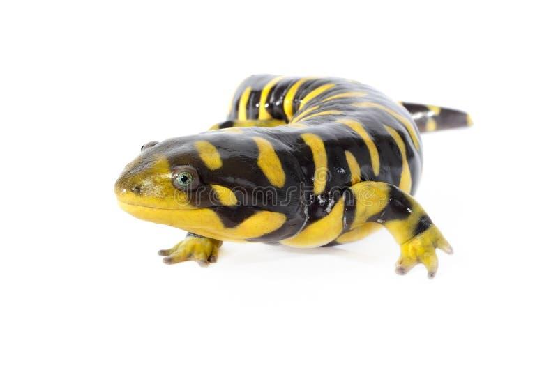 Tiger Salamander stock photos