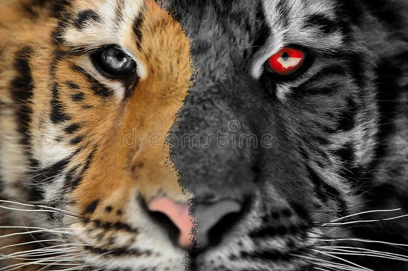 Tiger scary horror portrait. Halloween or ghost style. Siberian tiger horror face detail. Halloween scary picture. Aggressive stare look. Angry expression with stock photography