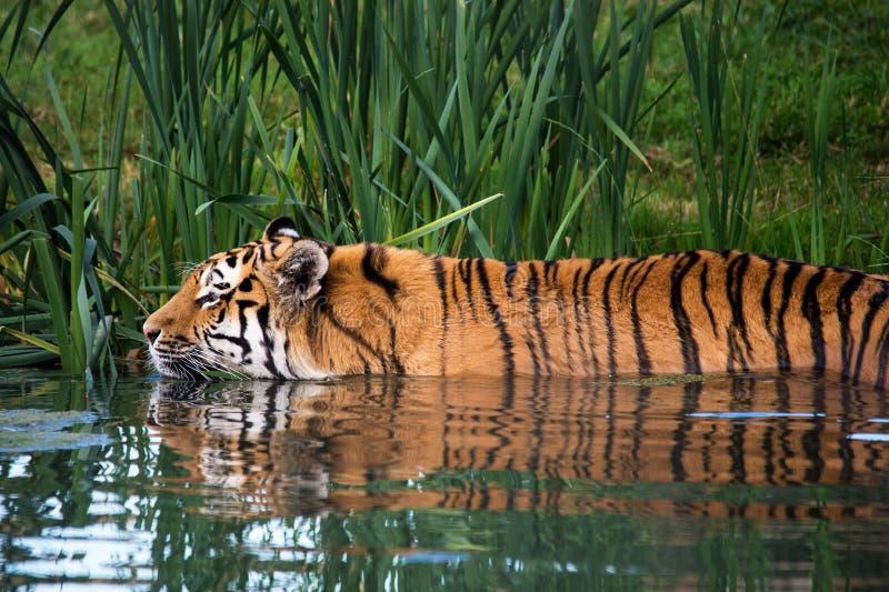 Tiger-Schwimmen lizenzfreie stockfotos