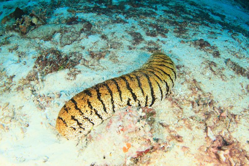 Tiger sea cucumber. Holothuria, lying on sand on bottom of sea in Raja Ampat, Papua Barat, Indonesia royalty free stock images