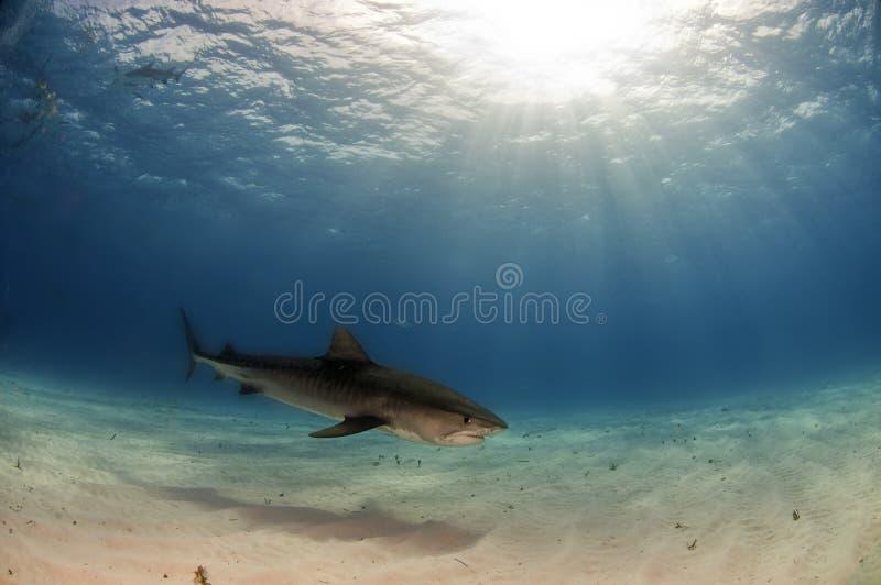 Tiger Shark. Patrolling the waters North of Grand Bahama