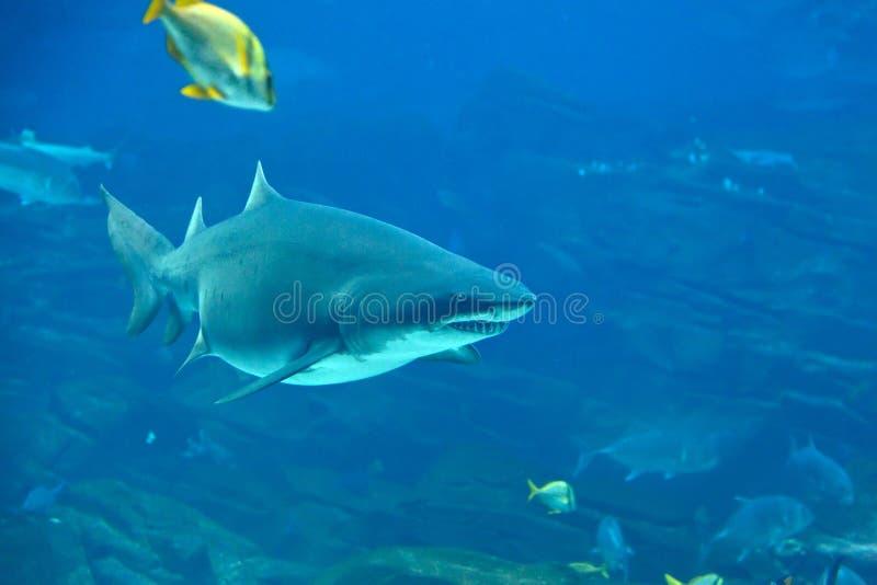 Download Tiger Shark stock image. Image of saltwater, fins, underwater - 20806849
