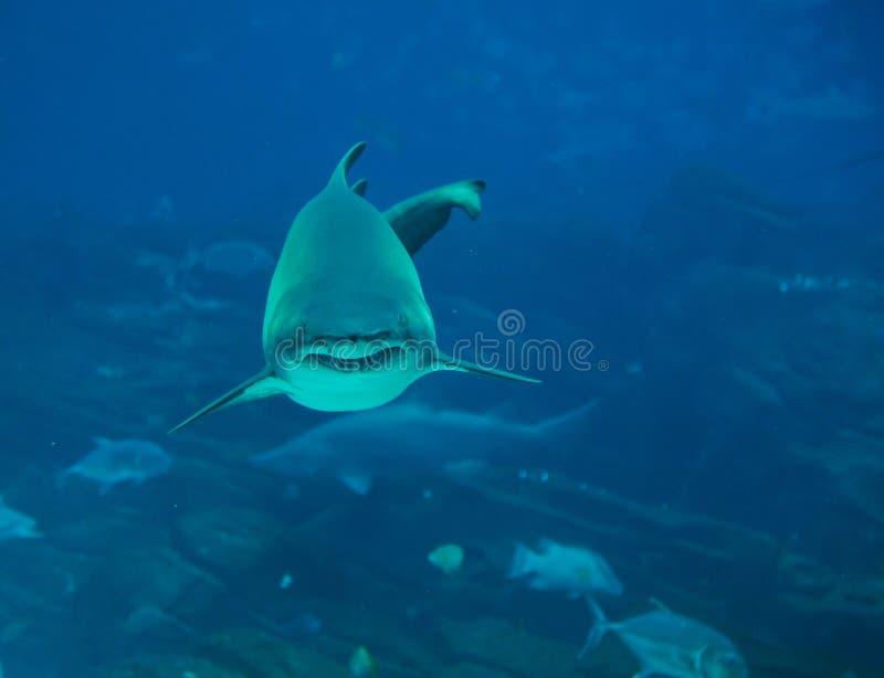 Tiger Shark Stock Images