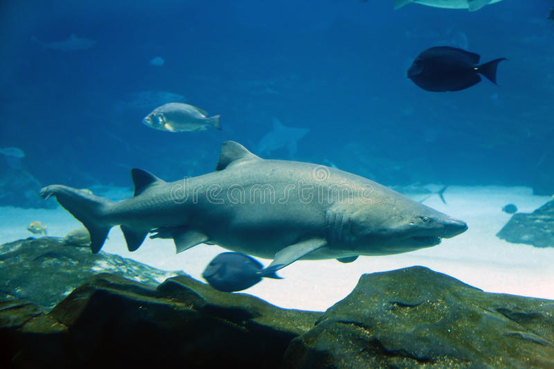 Download Tiger Shark stock photo. Image of predator, swimming - 23317968
