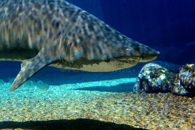 Tiger shark. A tiger shark swimming in water royalty free stock photography