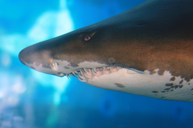 Tiger shark stock photo
