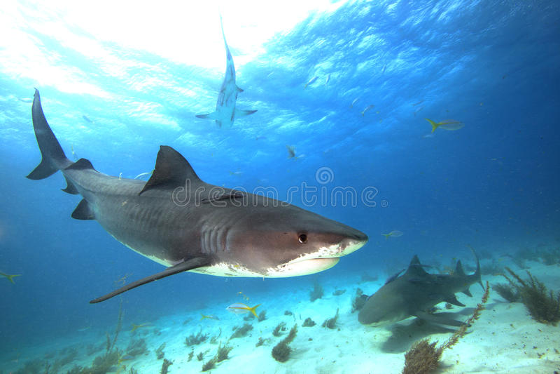 Tiger Shark arkivfoto