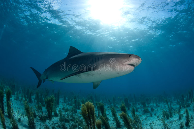 Tiger shark. A Tiger shark swimming over a reef in the Bahamas