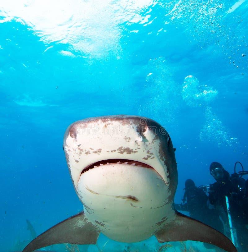 Tiger Shark imagem de stock royalty free