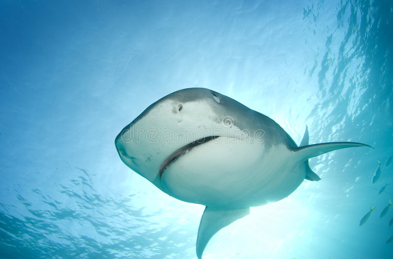 Tiger Shark from Above. A Tiger Shark (Galeocerdo cuvier) begins to cover her eyes as she descends towards the camera from above in line with the sun shining stock photos