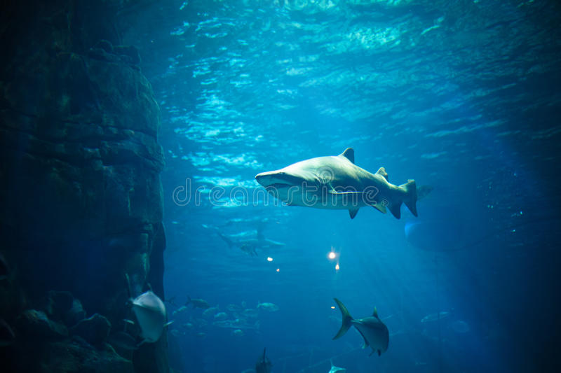 Tiger Shark in aquarium royalty free stock photography