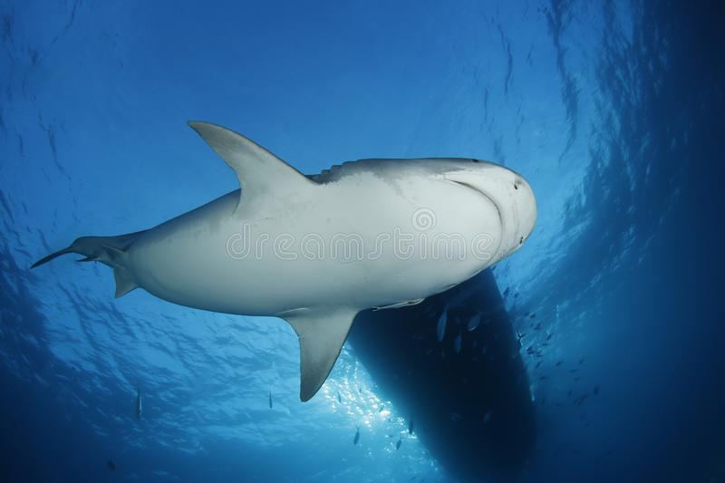 Tiger Shark. From below, with Surface and Boat above. Tiger Beach, Bahamas stock photos