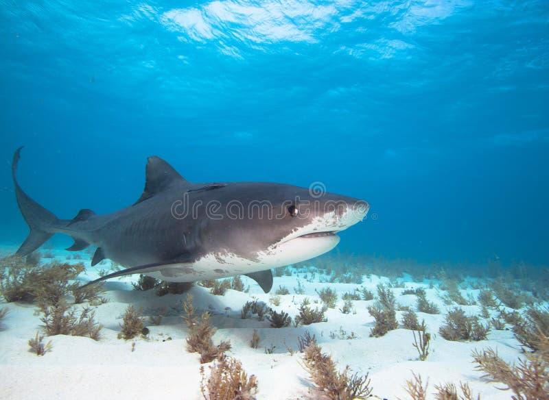 Tiger shark. royalty free stock photo