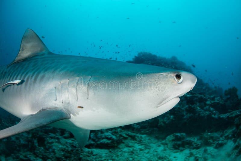 Tiger Shark stock photography