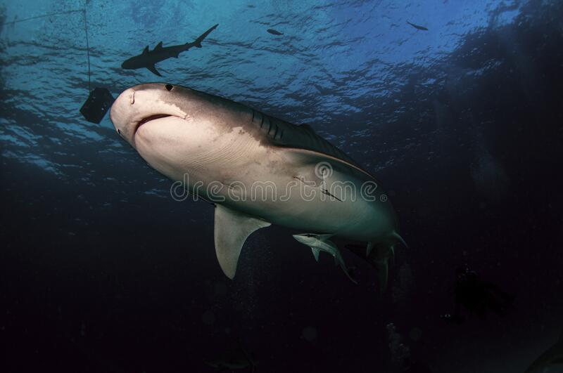 Tiger Shark in dark waters royalty free stock images