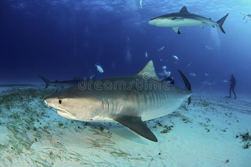 Tiger Shark. Galeocerdo cuvier Swimming by Closely, with Caribbean Reef Shark above. Tiger Beach, Bahamas stock photo
