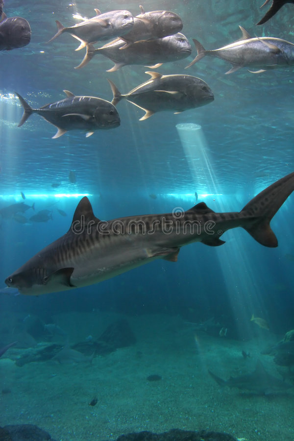 Tiger Shark and Giant Trevelly stock images