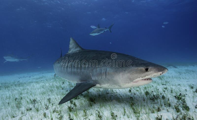 Tiger Shark Grand Bahama, Bahamas foto de archivo