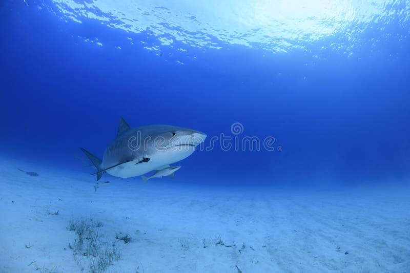 Tiger Shark Swimming Gracefully dans les eaux bleues d'océan des Bahamas image stock
