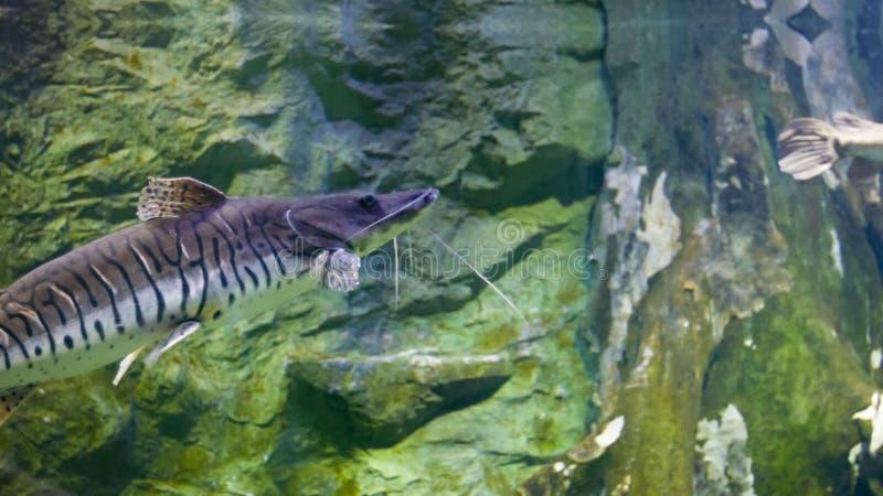 Gemeinsame Tiger Shovelnose Wels Im Teich Stock Footage - Video von @PH_22