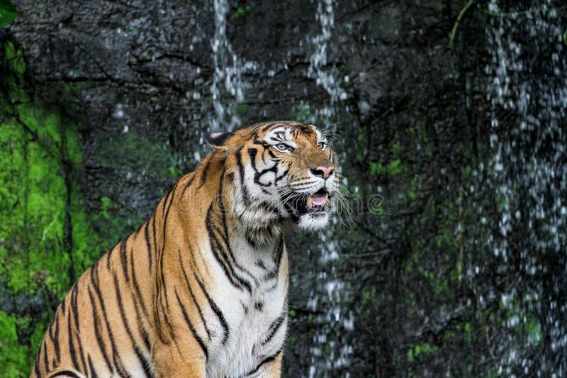 Tiger show tongue sit down  in front of mini waterfall. Animal bengal white wildlife striped mammal cat animals zoo aggression nature natural one day big safari royalty free stock photography