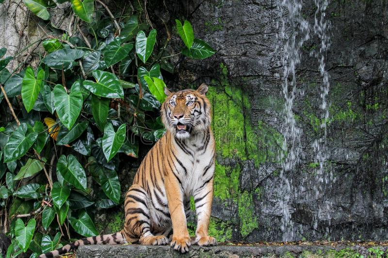 Tiger show tongue walking  in front of mini waterfall. Animal bengal white wildlife striped mammal cat animals zoo aggression nature natural one day big safari stock photos