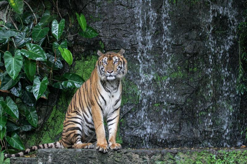 Tiger show tongue walking  in front of mini waterfall. Animal, bengal, white, wildlife, striped, mammal, cat, animals, zoo, aggression, nature, natural, one royalty free stock photography