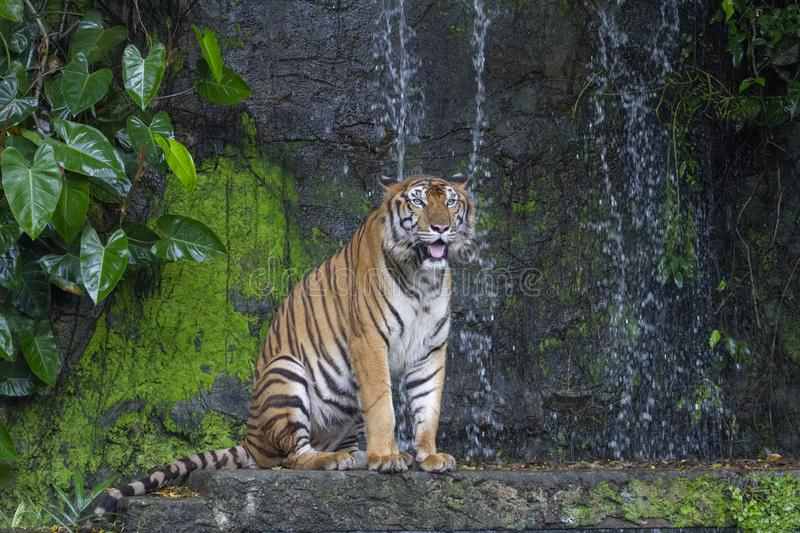 Tiger show tongue walking  in front of mini waterfall. Animal, bengal, white, wildlife, striped, mammal, cat, animals, zoo, aggression, nature, natural, one stock photos
