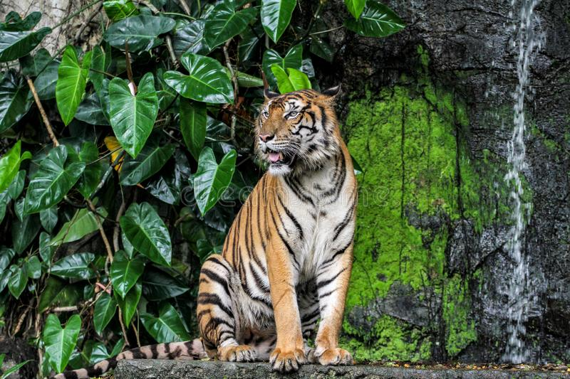 Tiger show tongue walking  in front of mini waterfall. Animal bengal white wildlife striped mammal cat animals zoo aggression nature natural one day big safari royalty free stock images