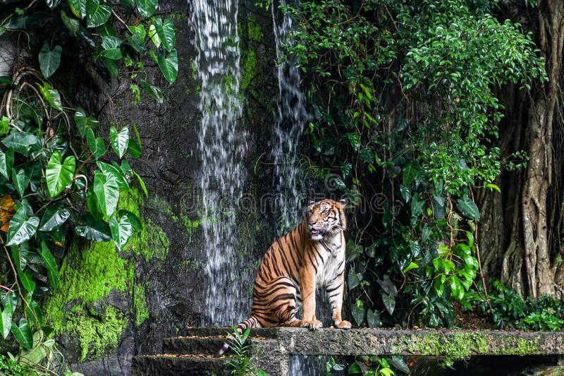 Tiger show tongue walking  in front of mini waterfall. Animal, bengal, white, wildlife, striped, mammal, cat, animals, zoo, aggression, nature, natural, one stock photo