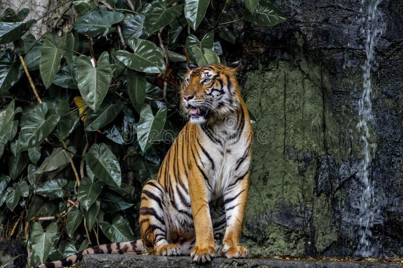 Tiger show tongue walking  in front of mini waterfall. Animal, bengal, white, wildlife, striped, mammal, cat, animals, zoo, aggression, nature, natural, one royalty free stock images
