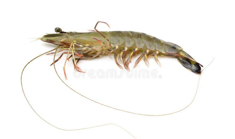 Tiger Shrimp foto de archivo