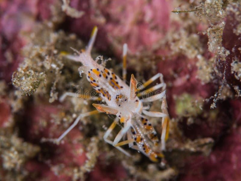 Tiger Shrimp på korall royaltyfria bilder
