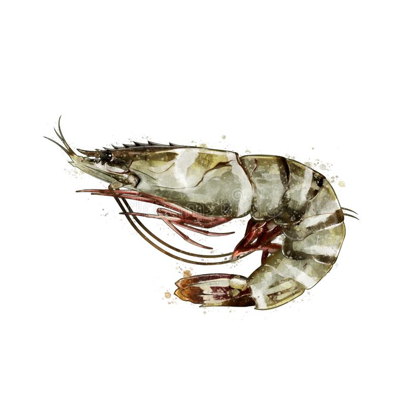 Free Tiger Shrimp, Watercolor Isolated Illustration Of A Crustacean. Stock Image - 190159921