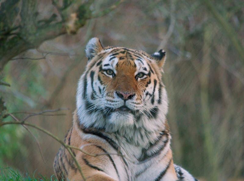Tiger - Siberian /Amur royalty free stock photos