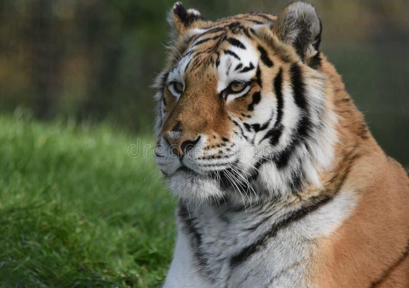Tiger - Siberian /Amur stock photos