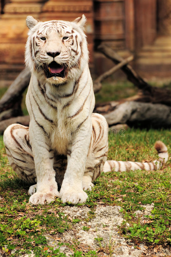 Tiger Sitting stock image