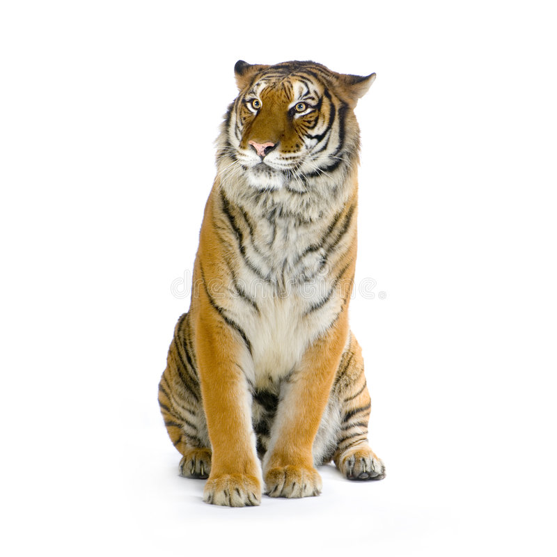 Tiger sitting royalty free stock image