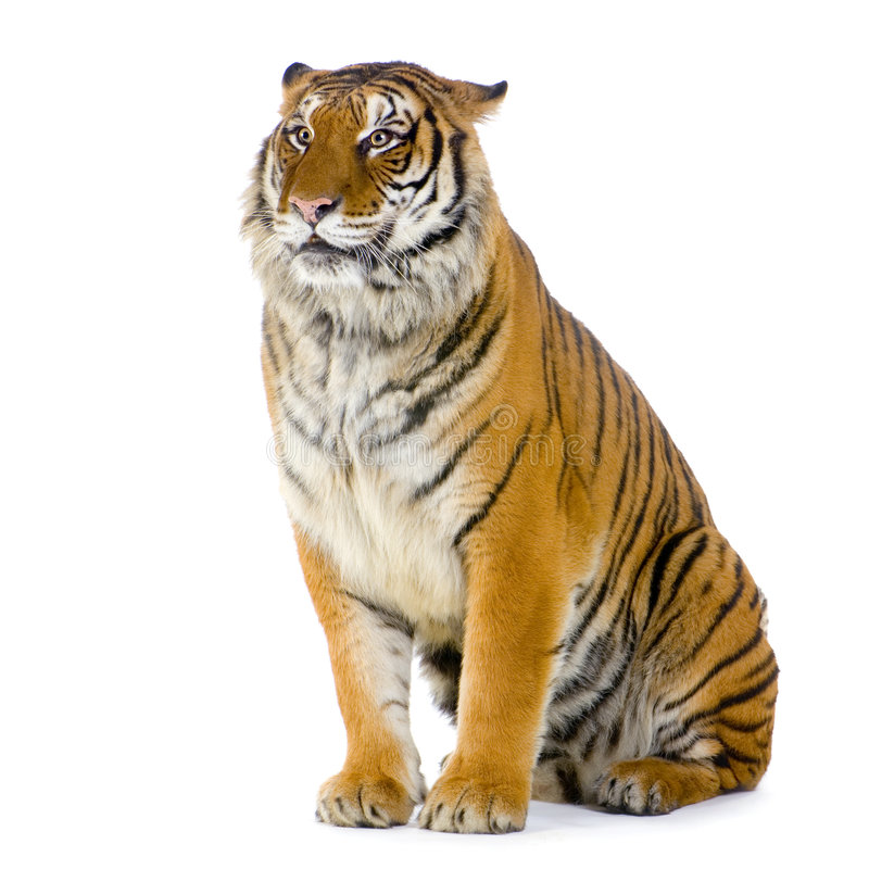 Tiger sitting royalty free stock photography