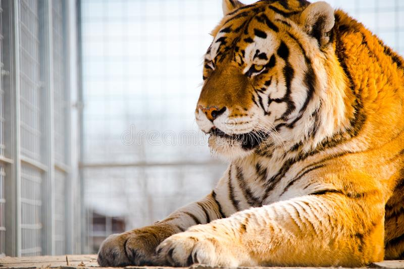 Tiger sitting in a cage. Freedom to all animals. Tiger sitting in a cage. Freedom to al animals. Best place for tiger is NATURE royalty free stock photo