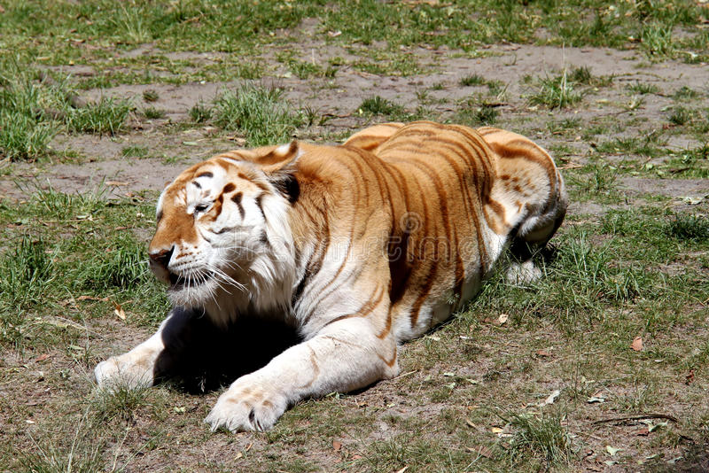 Tiger in sitting posture stock image