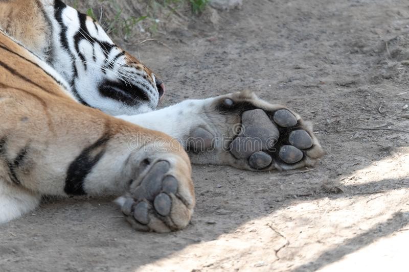 Paws feet ; Harbin siberia tiger park attraction, live animals in natural environment protected day. Tiger sitting in the shade of a hot summer day in Harbin stock image