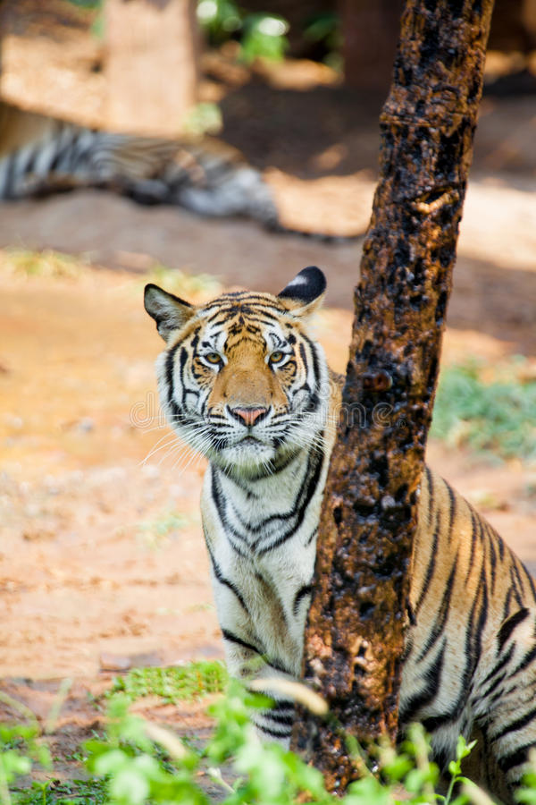 Download Tiger Stock Photo - Image: 39698519