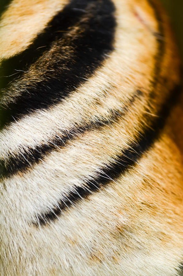 Download Tiger skin stock photo. Image of style, striped, elegance - 25931550