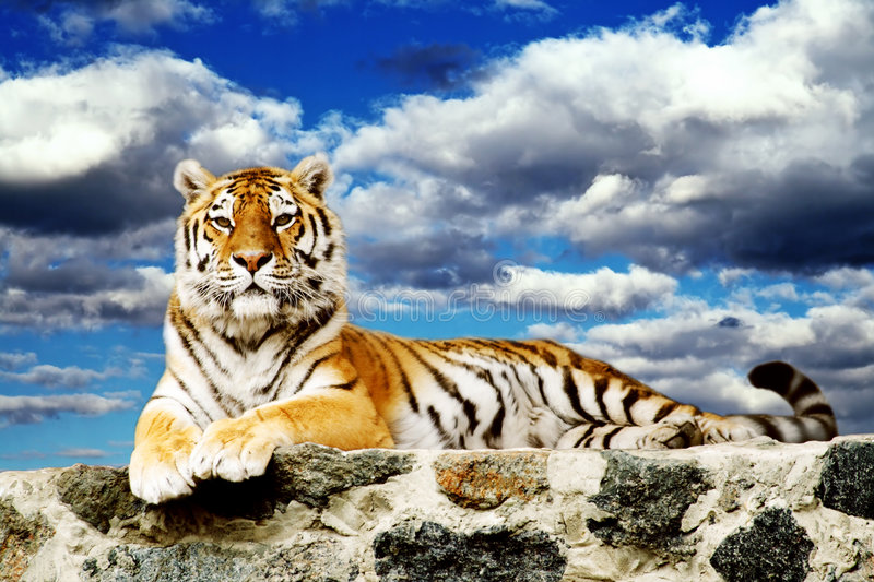Tiger in the sky. Tiger lay in the storm sky royalty free stock image