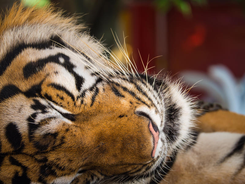 The Tiger Sleep Peacefully. In The Zoo stock images
